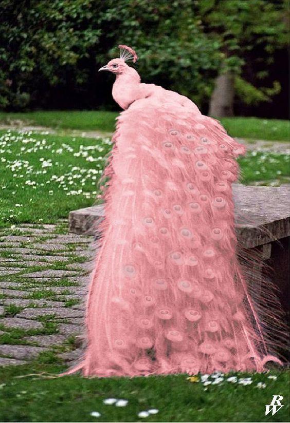paun-roz
